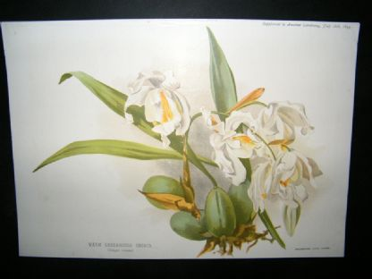 Amateur Gardening 1894 Botanical Print. Warm Greenhouse Orchid | Albion Prints